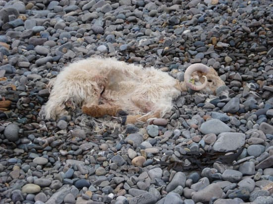 Dead sheep on a beach' photo Richard Whitby